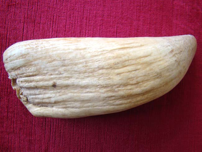 click to view larger image of A RARELY seen large 19th century whale's tooth over 9