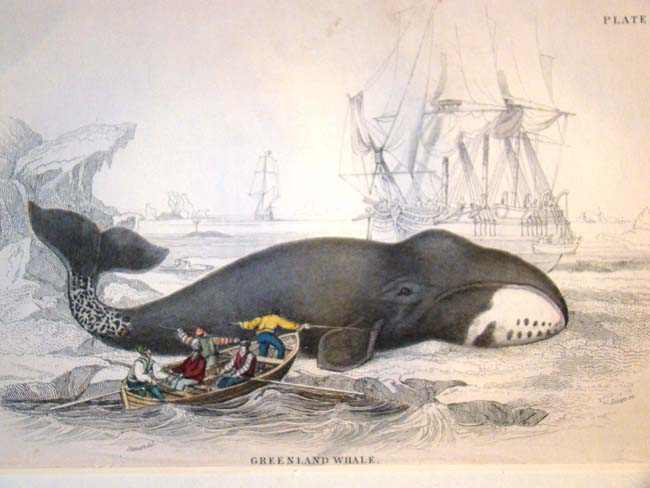click to view larger image of A 19th century hand colored engraving of a whale by W.H.Lizars, 1837