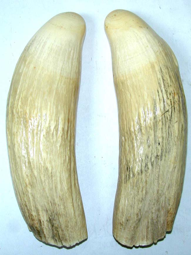 click to view larger image of A Large Matched Pair of 19th Century Sperm Whale Teeth