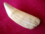 click to view detailed description of A RARELY seen large 19th century whale's tooth over 9