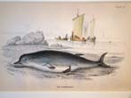 click to view detailed description of A 19th century hand colored engraving of a whale published in 1837 by W.H. Lizars