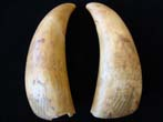 click to view detailed description of A pair of 19th century scrimshawed whales teeth dating to 1869