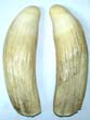 click to view detailed description of A Large Matched Pair of 19th Century Sperm Whale Teeth